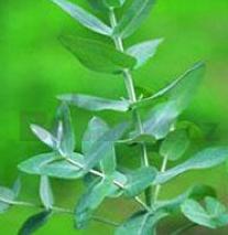 Eucalyptus globus